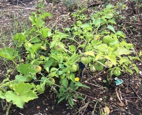Tomatio - plant