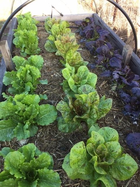 Veg upd - lettuce and pak choy