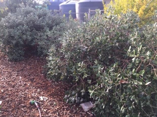 feijoa - bushes 2