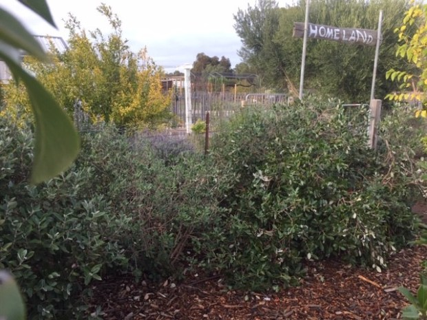 feijoa - bushes