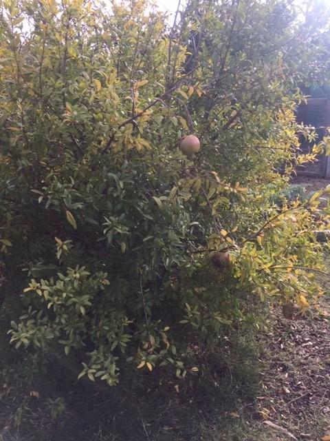 Pom – bush