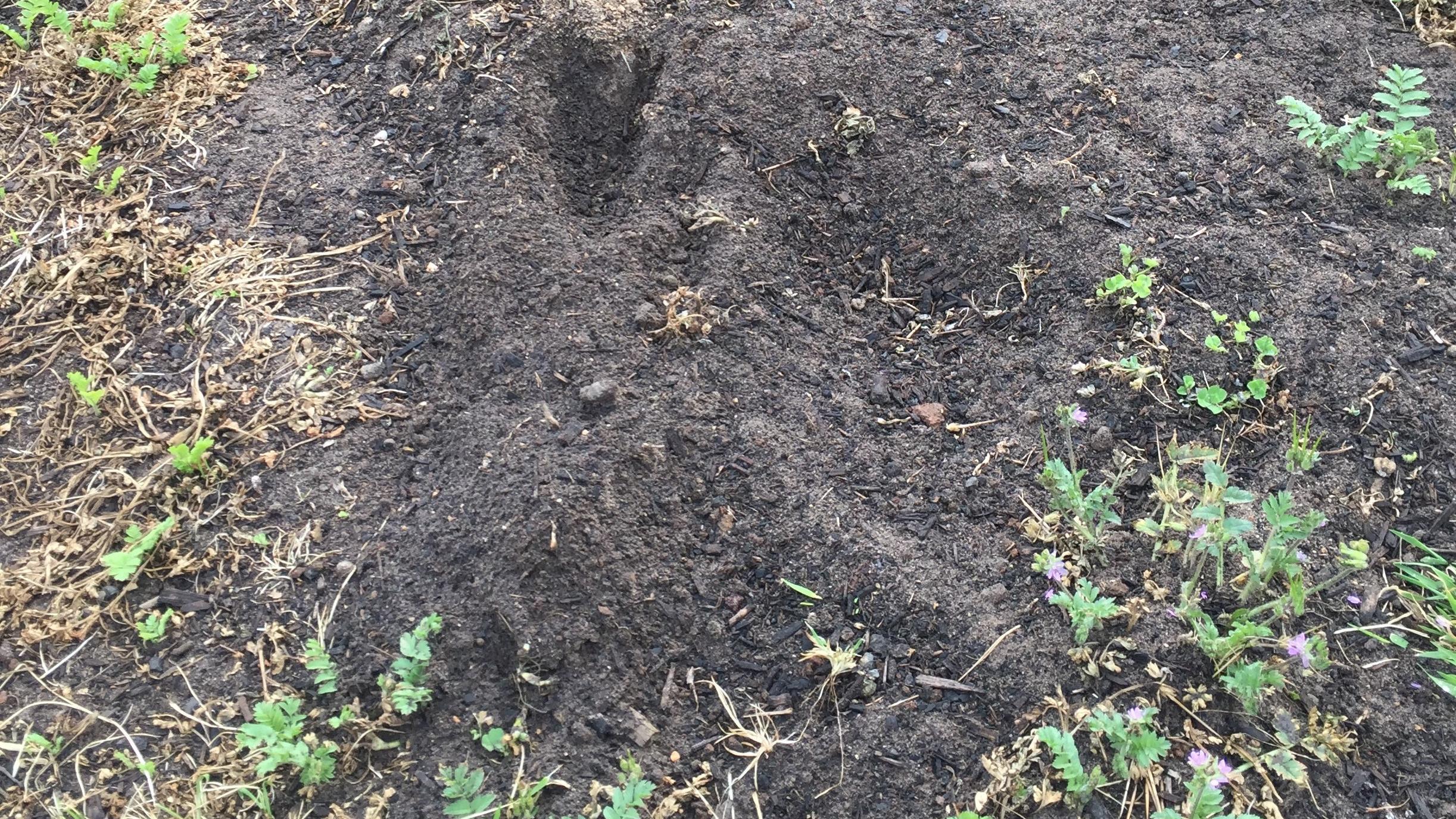 Rabbit – digging