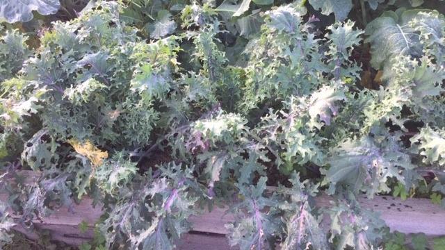 Kale – abundance