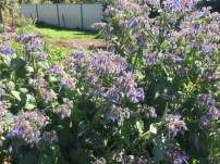 Borage planted in the guilds