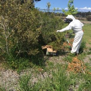 Bees - cutting swarm