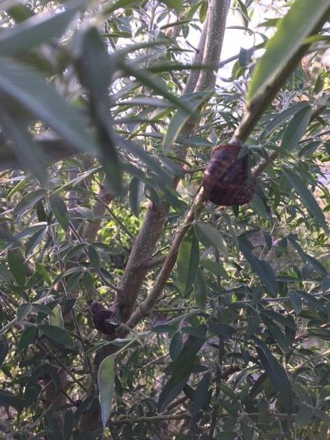 Tagasaste – snails
