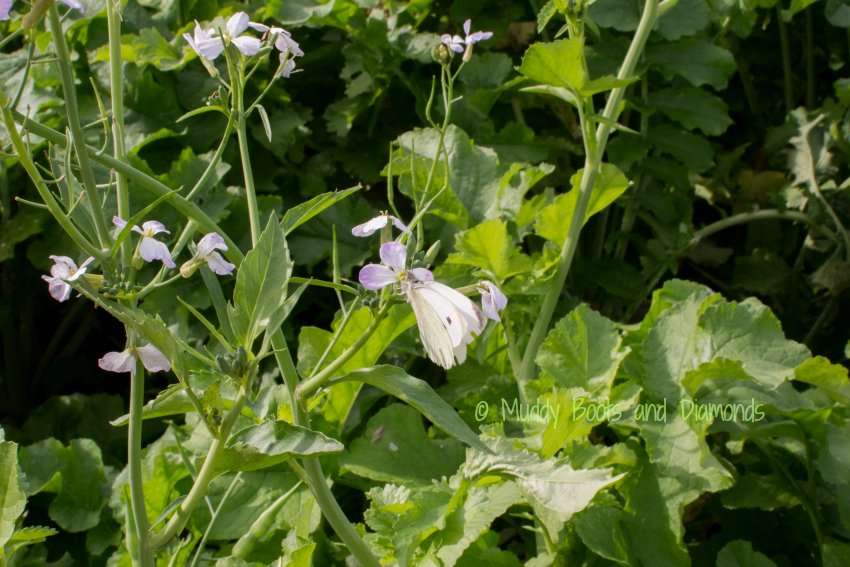 Cabbage Butterfly via www.muddybootsanddiamonds.com