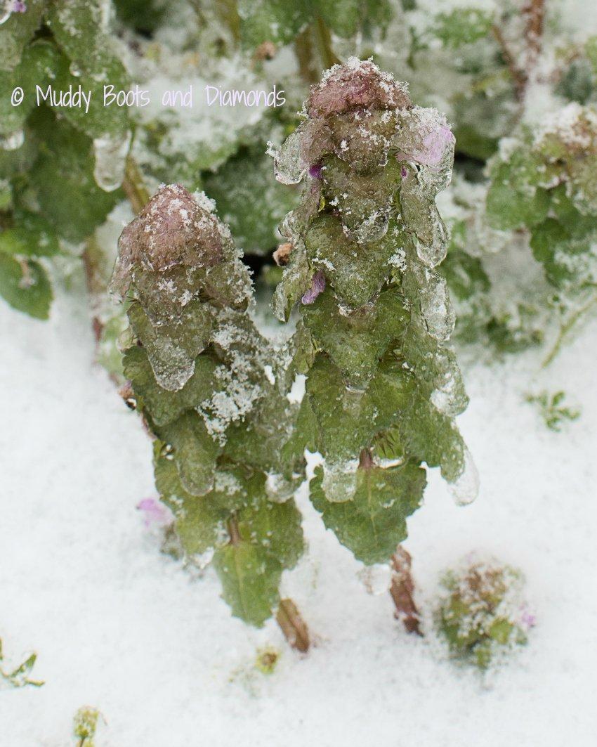Winter Storm Stella Ice Covered Weeds via muddybootsanddiamonds.com