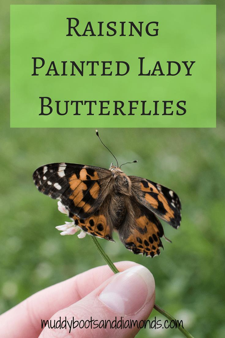 Raising painted lady butterflies in a butterfly garden via muddybootsanddiamonds.com