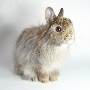 Dink, our Jersey Wooly Rabbit   MudHollow.com