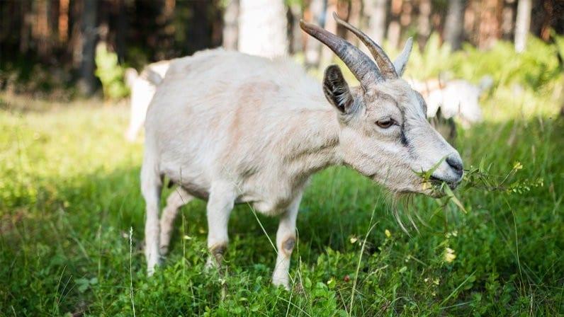 бизнес-идеи, аренда, коза
