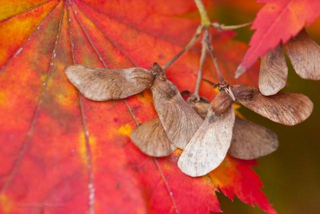fall maple leaves NE