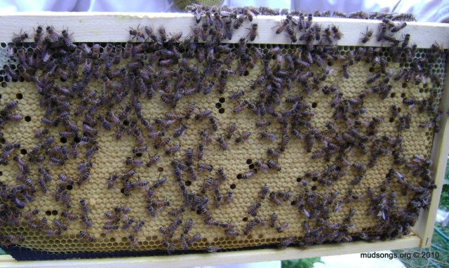 Capped brood. (July 31, 2010.)