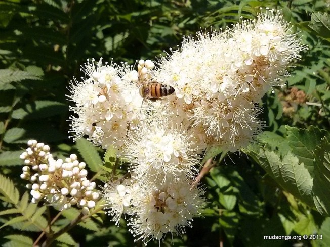 Honey bee spotted on white flower approximately 1.2km from our city hive. (August 02, 2012.)