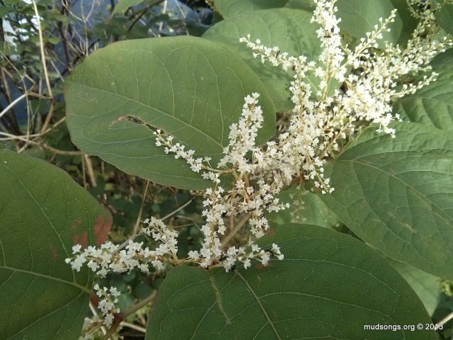 Flowers on Japanese Knotweed, a little boost for the bees before winter. (Sept. 11, 2013.)