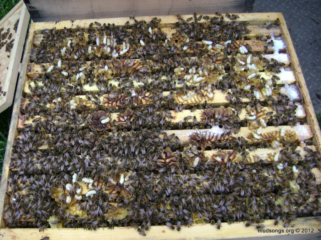 Drone comb split open after lifting up the top brood box for the first time this year. (May 05, 2012.)