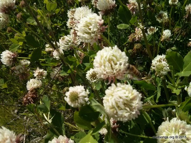White clover with out-of-focus honey bee. (July 23, 2015.)