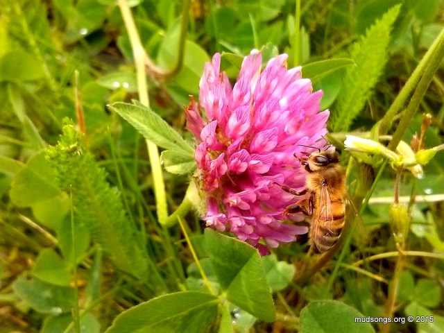 Honey bee on Purple Clover (July 26, 2015.)