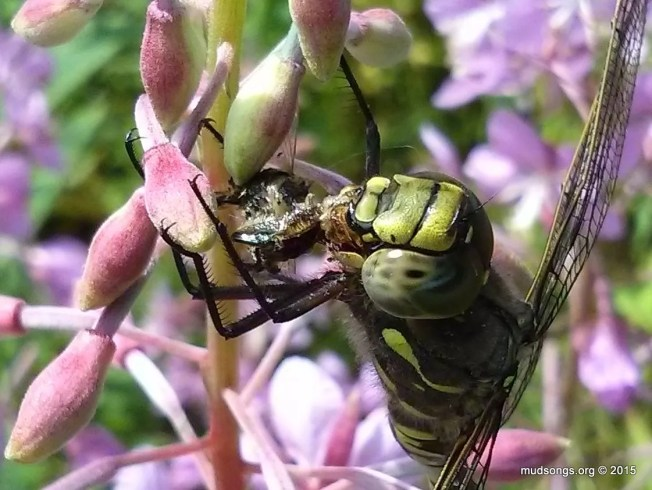 A dragonfly eating a honey bee on fireweed in Flatrock, NL. (August 16, 2015.)