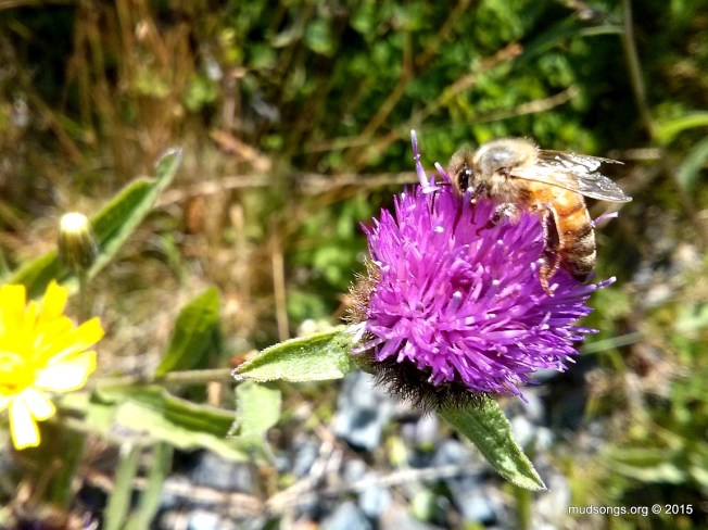 Cell phone shot of honey bee on Knapweed in Flatrock, Newfoundland (August 17, 20150)