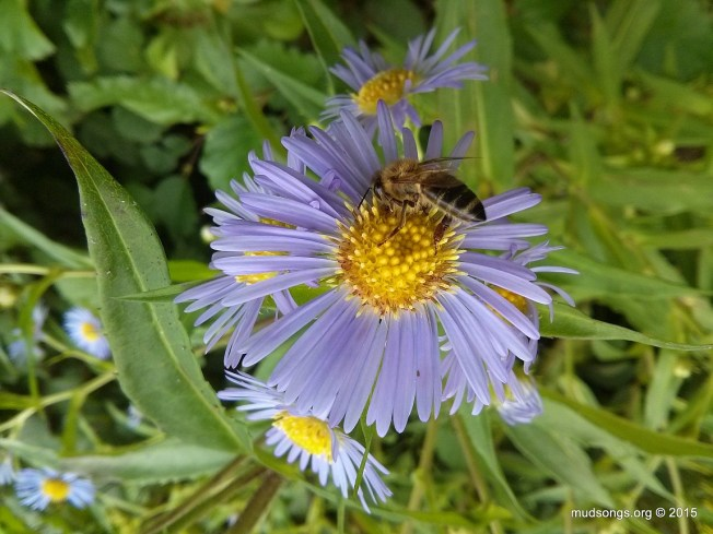 Honey bee on blue flower in Flatrock, NL (Aug. 24, 2015.)