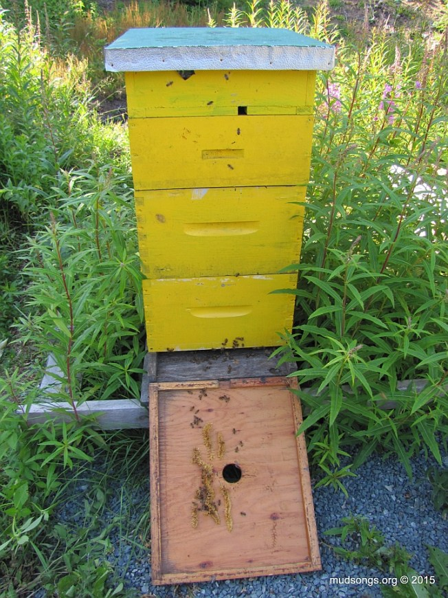 Is a 20-day-old mated queen hiding in this hive somewhere? (August 3, 2015.)
