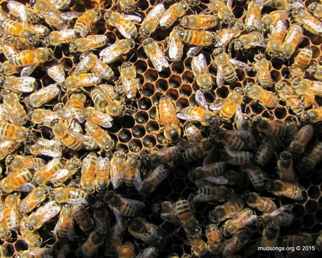 First glimpse of the new naturally mated queen. (August 5, 2015.)
