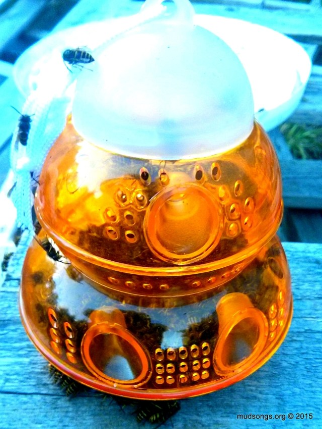 Add some sugar water and a teaspoon of raspberry jam and then watch all the wasps / yellow jackets get trapped and die. (Sept. 22, 2015.)