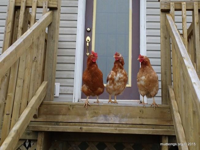 guardchickens