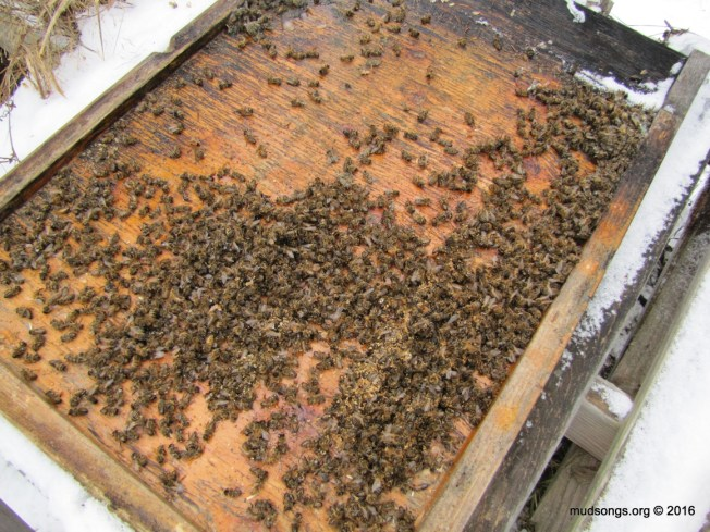 A normal number of dead bees on the bottom board. (March 13, 2016.)