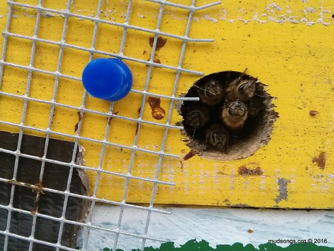 Opening the quarter-inch mesh and releasing the bees for cleansing flights. (March 19, 2016.)
