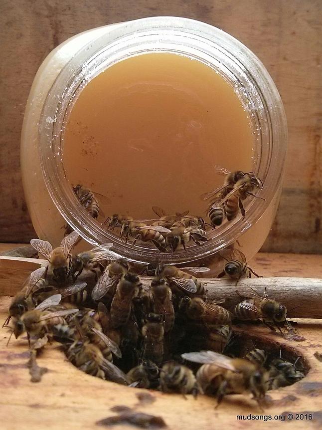 Feeding the bees a jar full of crystallized honey. (June 04, 2016.)