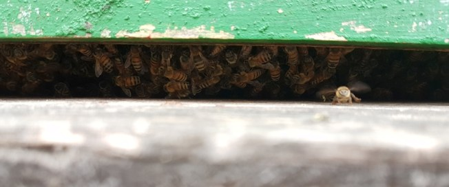 Nurse bees hanging off brood frames in the bottom box.
