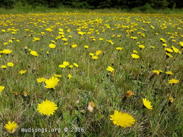 Field of yellow flowers, possibly Colts Foot? (July 1st, 2016.)