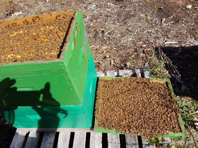 A hive packed with bees after reducing it to 2 deeps four days ago. I found 2 frames of capped brood in the top box too.  That queen is on fire.  (Sept. 30, 2016.)