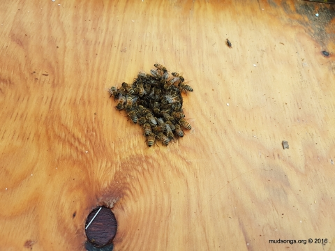 The cluster breaking through the inner cover hole.  I wanted to put the rim beneath the inner cover, but I'll leave this hive alone for another day, hopefully a colder day when the bees are deeper down in the hive. (Oct. 28, 2016.)