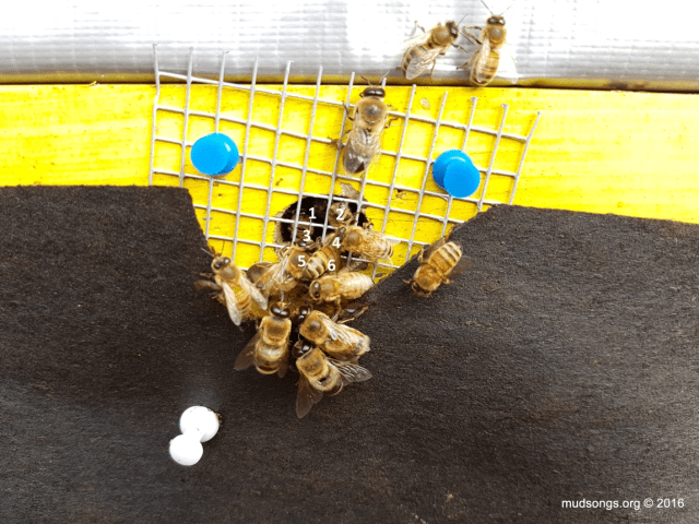 Quarter-inch mesh opening (numbered 1 to 6) that the bees can climb through. (Nov. 17, 2016.)