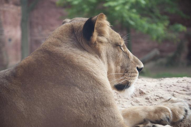 Junger Löwe