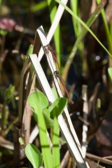 Libellen am Gartenteich