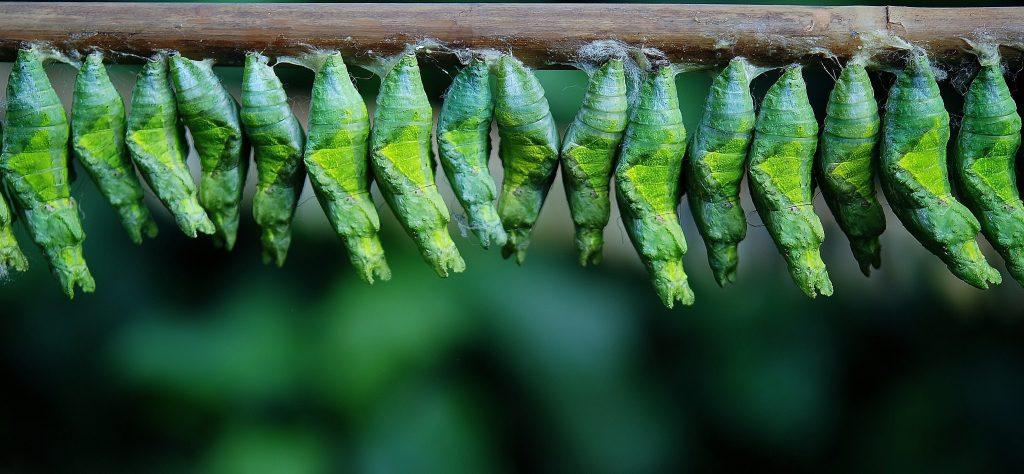 Schmetterlingspuppen hängen aufgreiht an einem Balken. Als Synonym für den nächsten Schritt auf dem Weg zum ersten Mal bloggen-