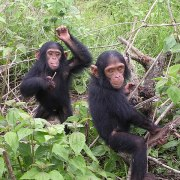 Pack of Chimpanzees Able to Restrain Themselves on Quiet Floor of Library