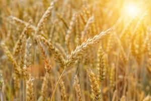 もと 国産 スペルト小麦 古代小麦 オーガニック 全粒粉 石臼 石窯 天然酵母 通販 パン