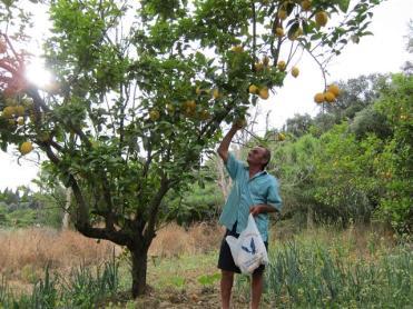 Saimnieks pašrocīgi izvēlas smukākos citronus, ko uzdāvināt pēkšņajām interesentēm