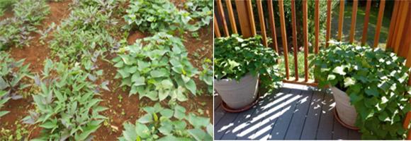potato-garden1