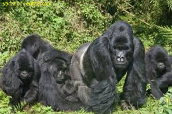 African tourist destination:  Rwanda home of mountain gorillas