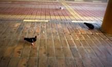 Burung dara di KOMTAR