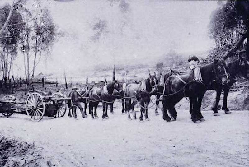 Arthur Drury and bullock team hauling logs to Brooman Mill early 1900s