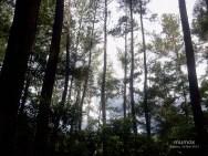 5 Hutan Pinus