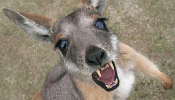 coma mais carne de canguru dizem os ecologistas muito curioso