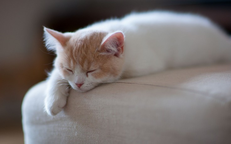 cats-kitty-animals-white-sleeping-sweet-adorable-ginger-kitten-cat-cute-sleep-free-wallpapers-736x460
